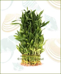 Lucky Bamboo Five Layer Bare Root