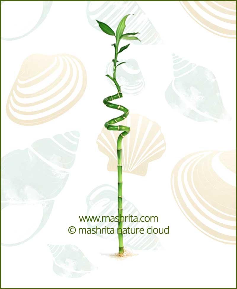 Spiral Stick Lucky Bamboo (1 Piece Dancing Bamboo)