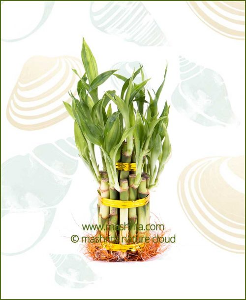 Lucky Bamboo Two Layer Bare Root