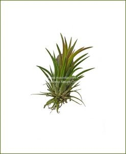 Tillandsia Bulbosa Mini (Air Plant Mini)