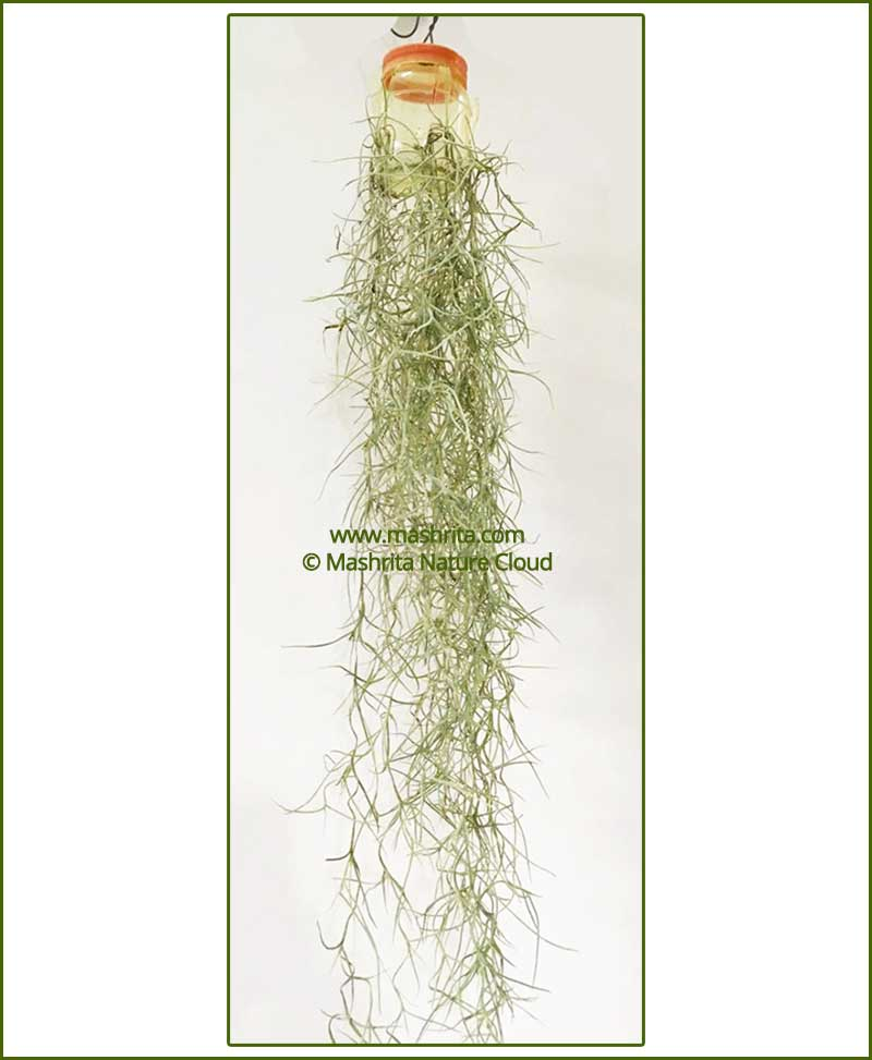 Tillandsia Usneoides (Air Plant Hanging - Spanish Moss)