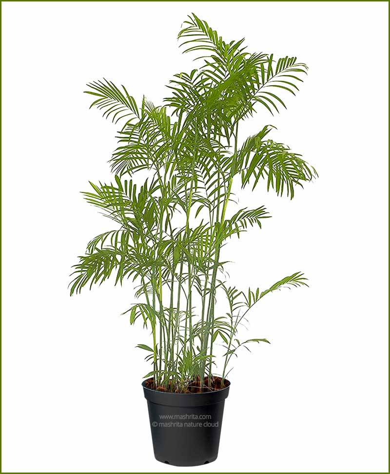 Bamboo Palm Chamaedorea Seifrizii 108 Inch