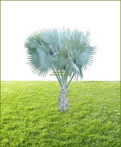 Bismarckia Palm Bismarckia Nobilis 32 Inch
