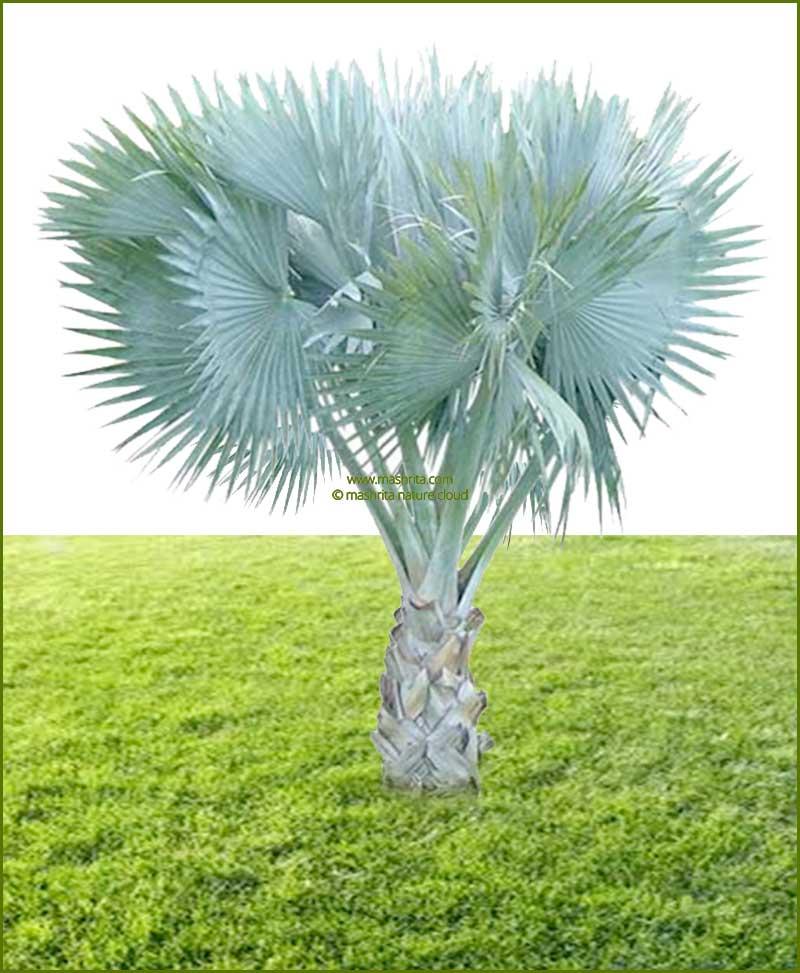 Bismarckia Palm Bismarckia Nobilis 48Inch