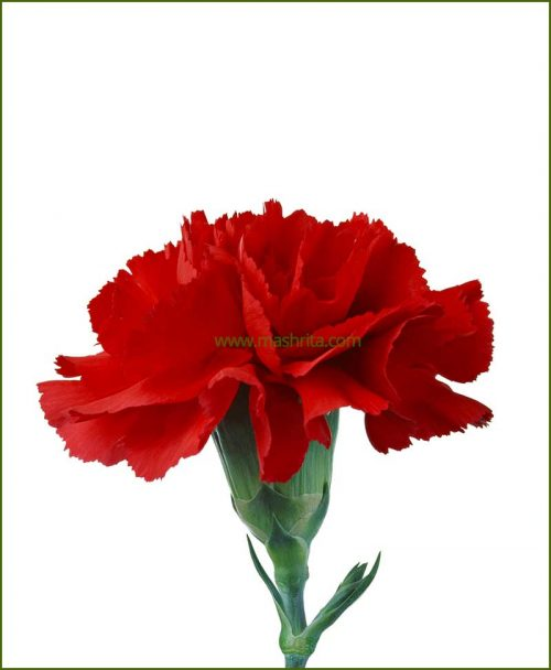 Carnation Dark Red Flower Plant