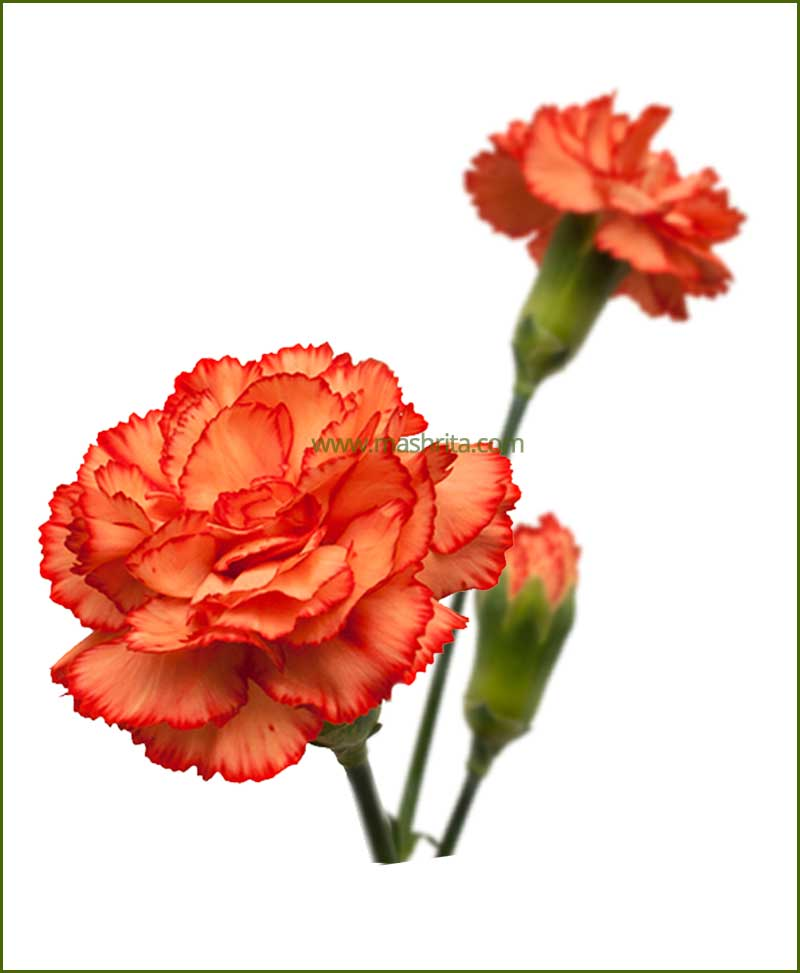 Carnation Orange Flower Plant
