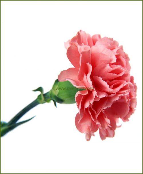 Carnation Pink Flower Plant