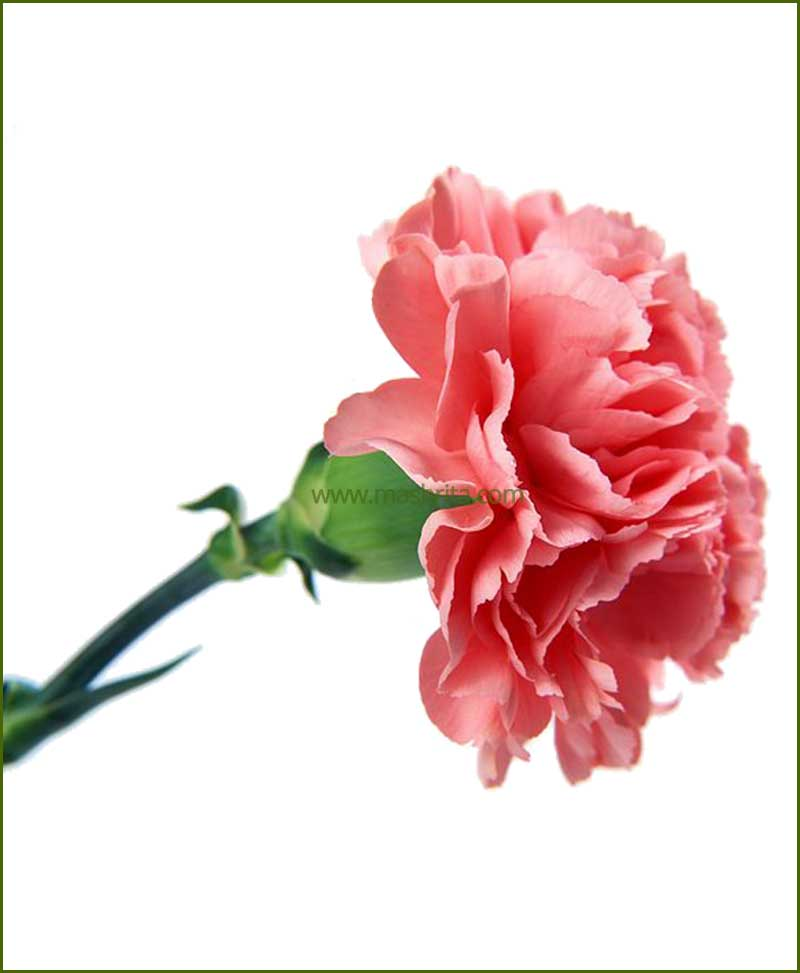 Carnation pink flower plant mightylinksfo