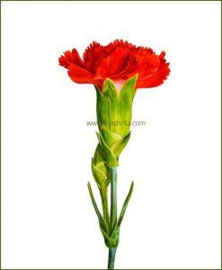 Carnation-Red-Flower-Plant-Mashrita