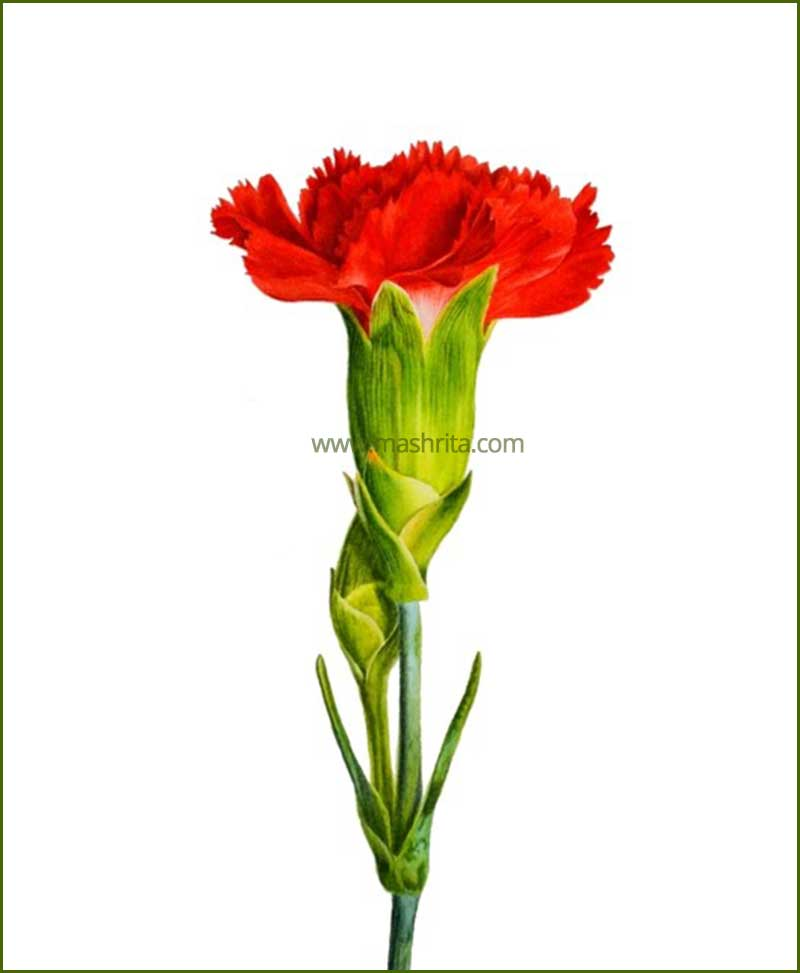 Carnation-Red-Flower-Plant-Mashrita