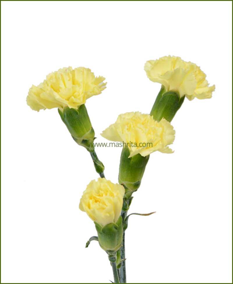 Carnation Yellow Flower Plant