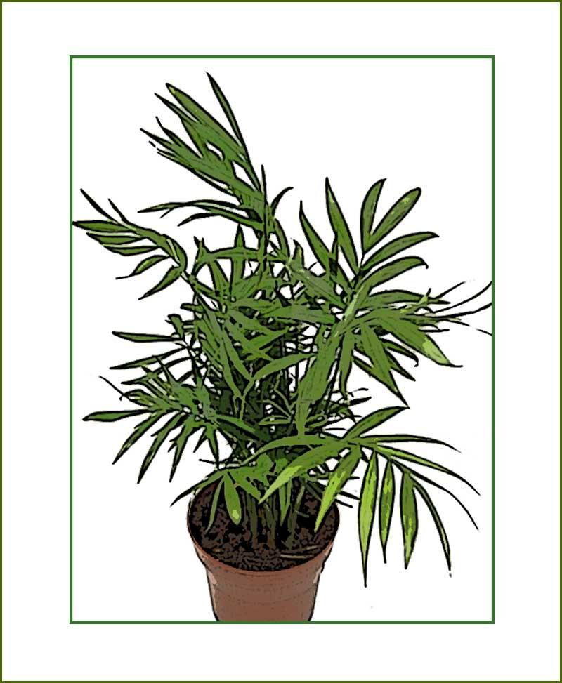 Chamaedorea Plants
