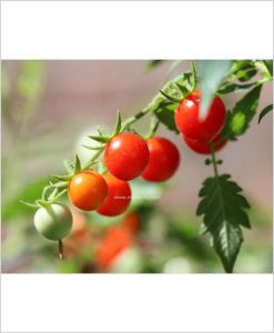 Cherry-Tomato-Red-Plant-(Imported-High-Yielding)-18-Inch-Bag