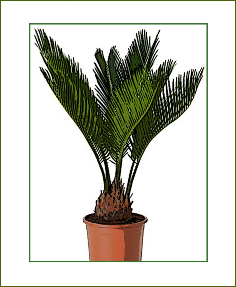 Cycus Plants