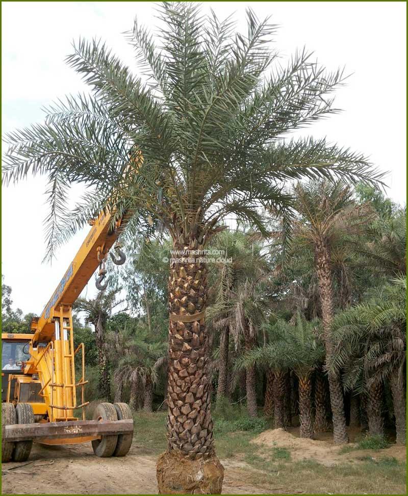Date Palm Phoenix Dactylifera 136 Inch