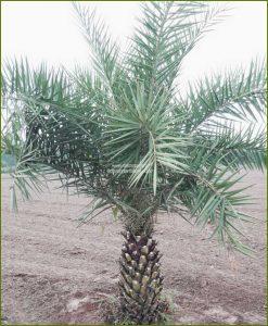 Date Palm Phoenix Dactylifera 84 Inch