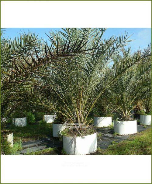 Date Palm Phoenix Dactylifera 96 Inch