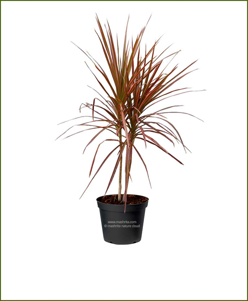 Dracaena Tricolor Red (Dracaena Marginata - Red-edged ...