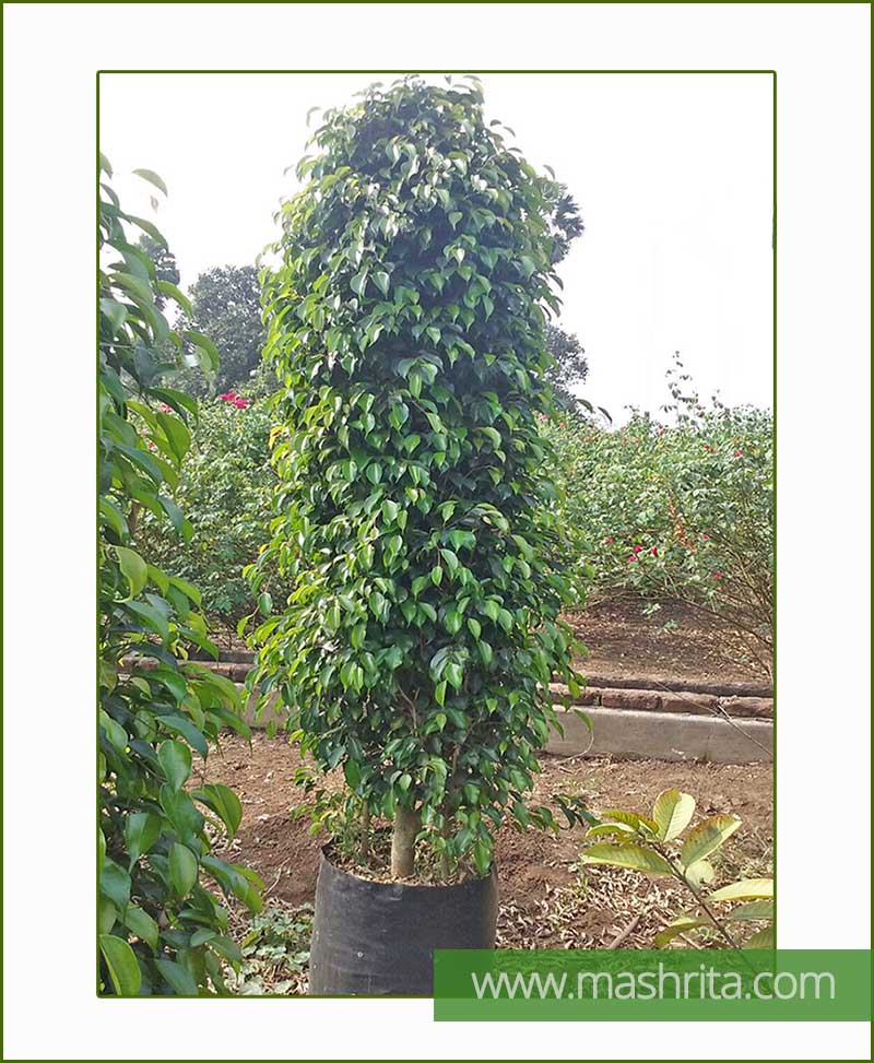 Ficus Benjamina Black Exotica (Bushy)