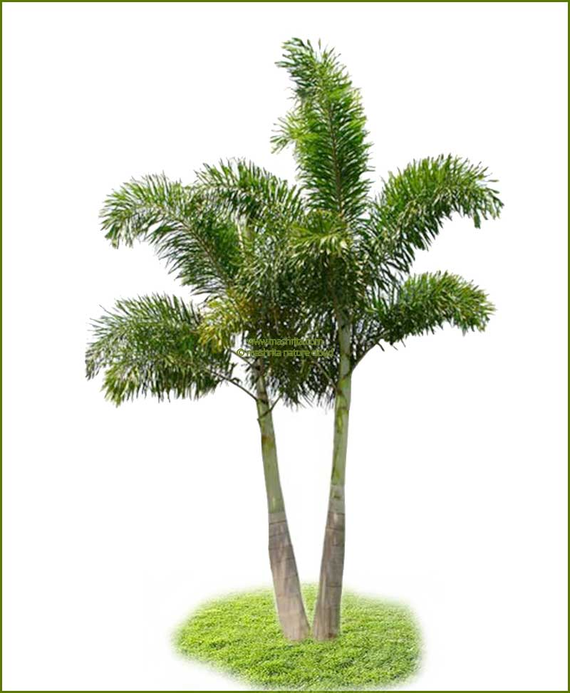 Fox Tail Palm Wodyetia Bifurcata 120 Inch
