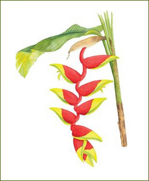 Heliconia Flower Plants