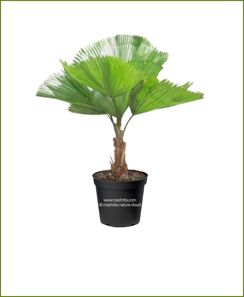 Licuala Grandis Palm 18 Inch