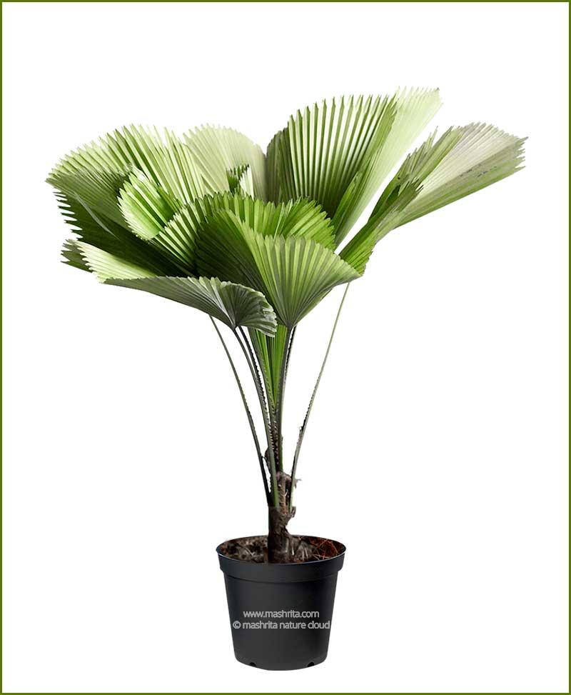 Pichodia Grandis Palm 36 Inch