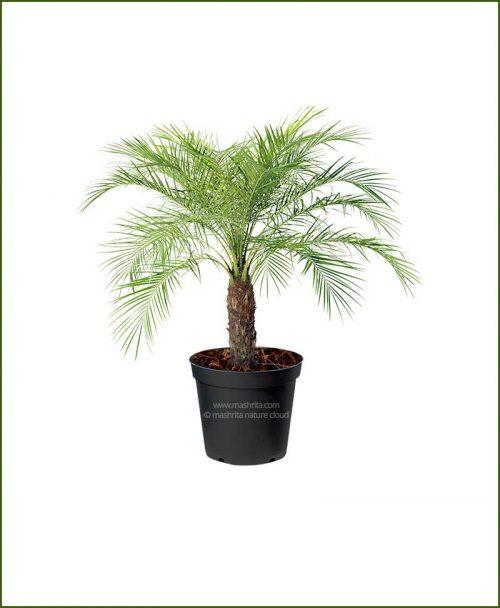 Pigmy Date Palm Phoenix Roebelenii (Dwarf Date Palm) 30 Inch