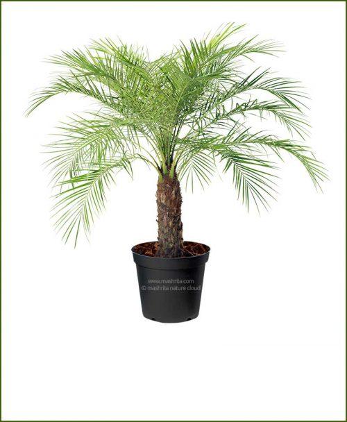 Pigmy Date Palm Phoenix Roebelenii (Dwarf Date Palm) 40 Inch