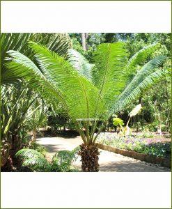 Queen-Sago-Palm-Cycas-Ciricinalis-60-Inch