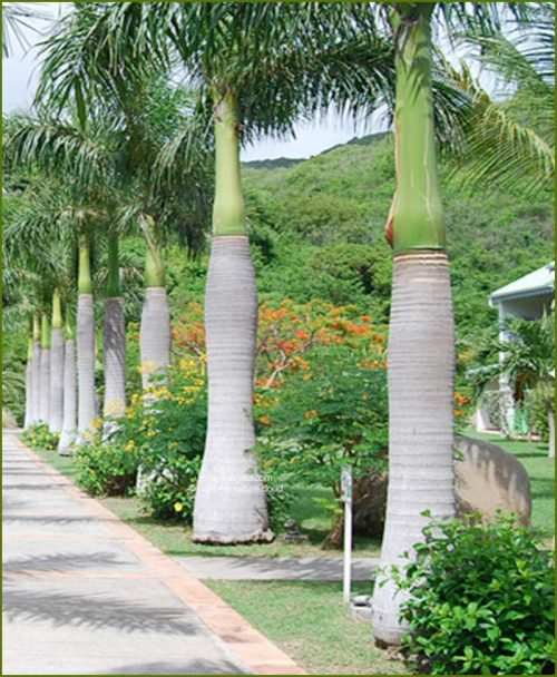 Royal Palm Roystonea Regia 120 Inch