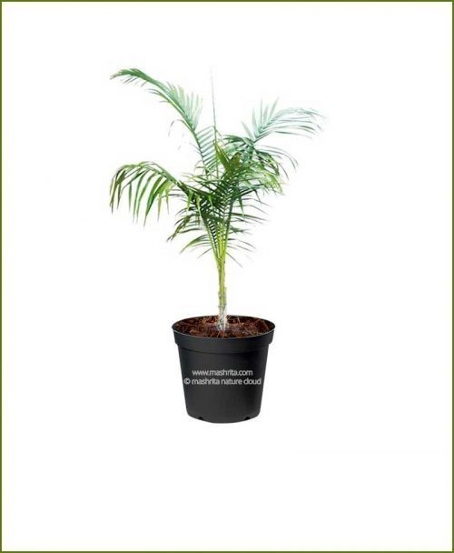 Royal Palm Roystonea Regia 48 Inch