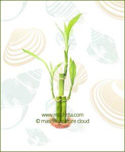 Lucky Bamboo Three Stalks Bare Root