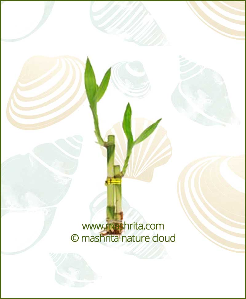 Lucky Bamboo Two Stalks Bare Root