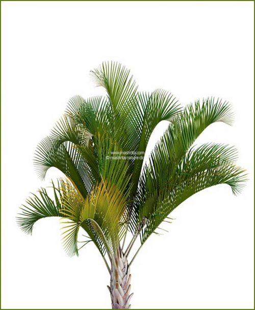 Triangle Palm Triangular Palm Neodypsis Decaryi 48 Inch