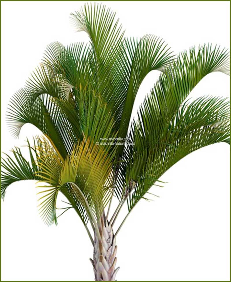 Triangle Palm Triangular Palm Neodypsis Decaryi 96-Inch