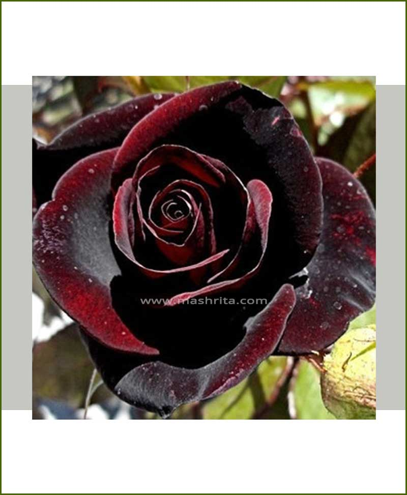 ©MNC-Black-Rose-Plant