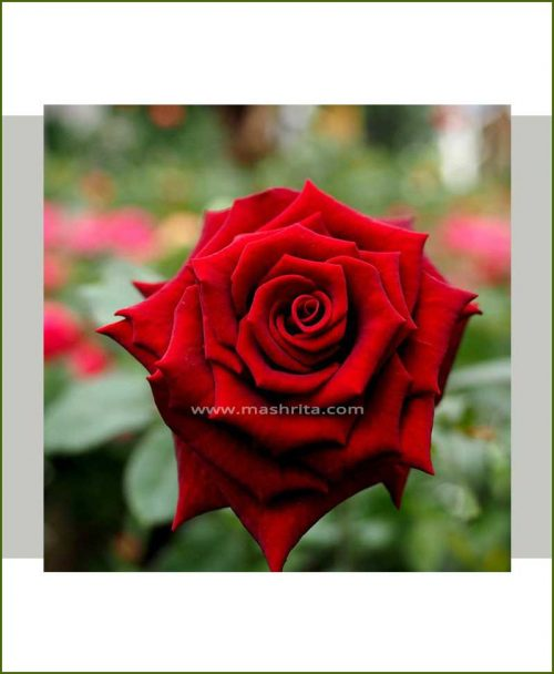 ©MNC-Dark-Red-Rose-Plant