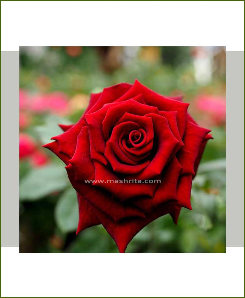 Dark Red Rose Plant