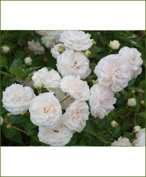 ©MNC-Dwarf-White-Rose-Plant