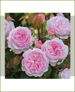 ©MNC-English-Rose-Plant