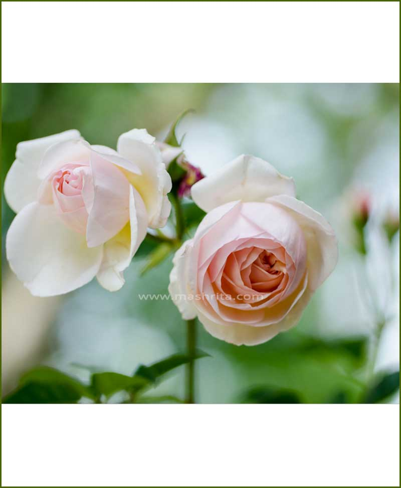 ©MNC-English-Rose-Plant