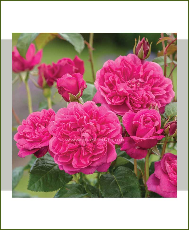 Fuchsia Rose Plant