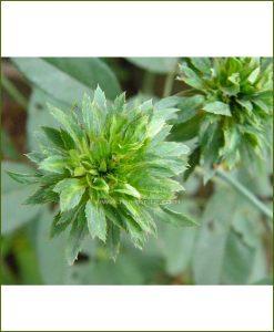 ©MNC-Green-Rose-Plant