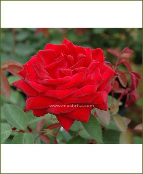 ©MNC-Kashmiri-Rose-Plant