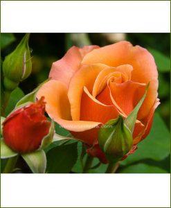 ©MNC-Orange-Rose-Plant