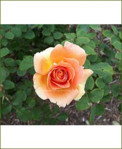 ©MNC-Peach-Rose-Plant