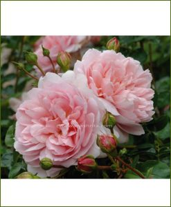 ©MNC-Pink-Rose-Plant