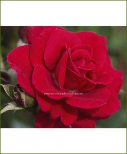 ©MNC-Red-Super-Rose-Plant