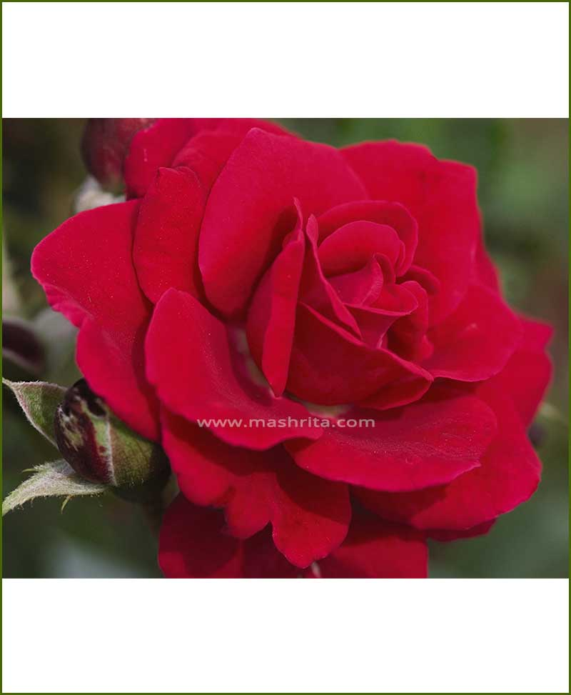 ©MNC-Red-Super-Rose-Plant